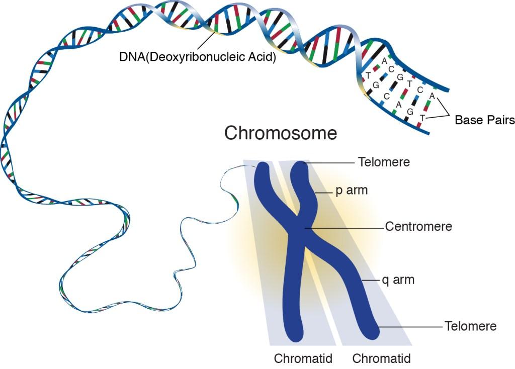 ক্রোমোজোমের গঠন